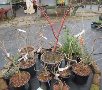 winter shrubs/small trees