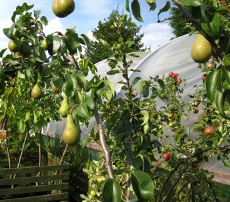 Pear and Apple trees