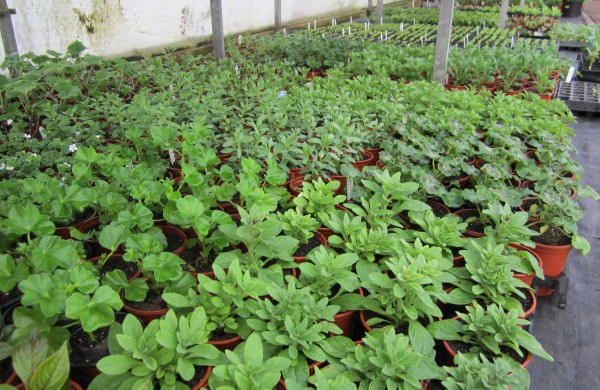 The Seedlings And Young Plants Have Thrived In Propagation Tunnel Every Inch Of E Has Been Used Up With Vegetable Bedding