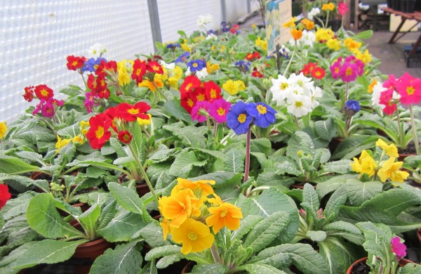 Cheerful Polyanthus
