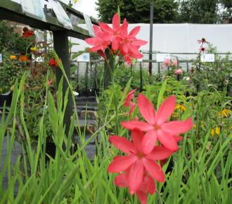 late summer flowering herbaceous perennials