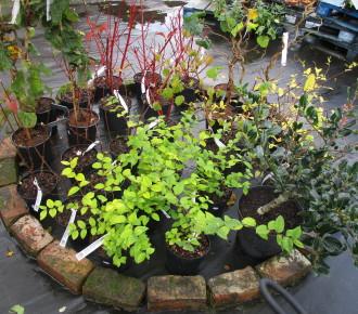 Hardy winter interest shrubs