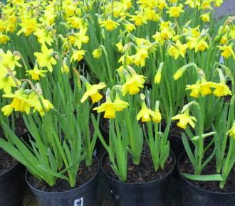 Daffodils 'Tete-a-Tete'