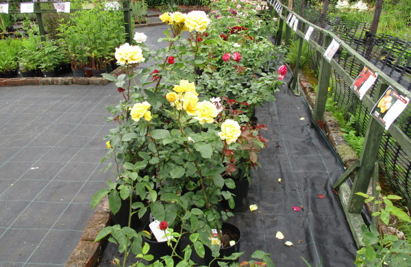 Roses and Herbaceous Perennials