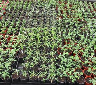 Vegetable and ornamental seedlings