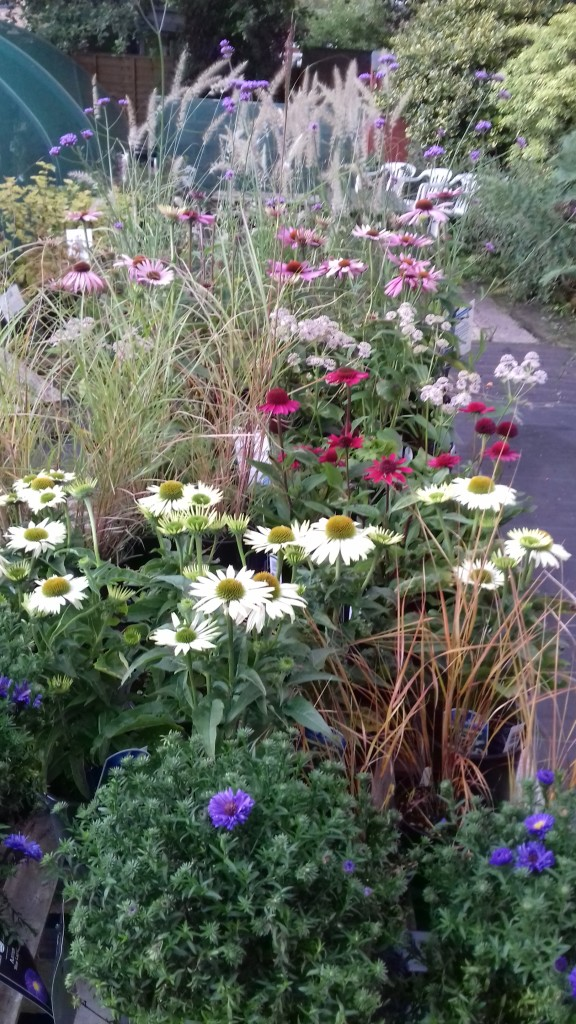 Late summer flowering herbaceous perennials and ornamental grasses